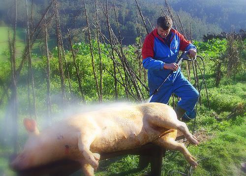 a matanza do porco 010-2